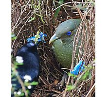 Satin Bowerbirds - A Courting Gift Photographic Print