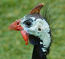 Helmeted Guineafowl by Margaret Saheed