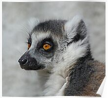 Contemplative Ring-tailed Lemur Poster