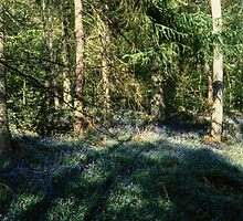 Bluebell Glade Lickey Woods Birmingham England 198405130041 by Fred Mitchell