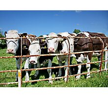 Friendly Cows Photographic Print
