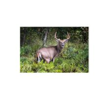 Gorgeous Whitetail Buck Gallery Board