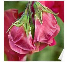 Sweet pea buds Poster