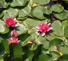 Water lillies Sticker