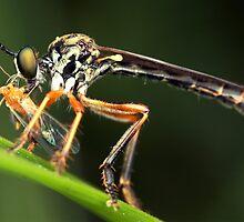 robber fly by vasekk