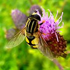 Hoverfly on Thistle by ©The Creative  Minds