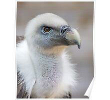 Portrait of a young white vulture. Poster