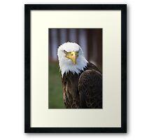 Beautiful north american bald eagle. Framed Print