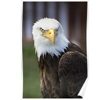 Beautiful north american bald eagle. Poster