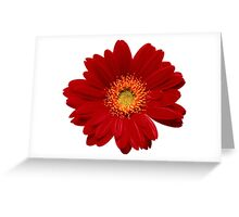 Red gerbera Isolated Greeting Card