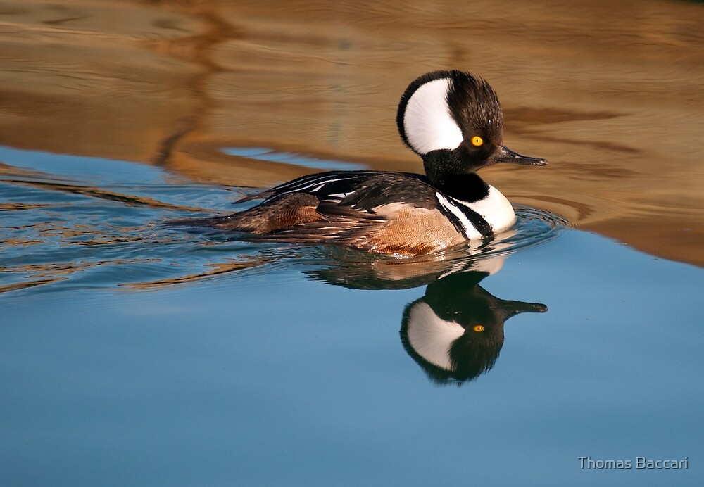 Hooded Merganser I by TJ Baccari Photography