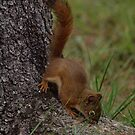 Red Squirrel by ldredge