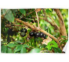 Jabotica Fruit Tree Poster