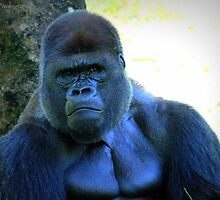 Male Silverback Gorilla  by SoftHope
