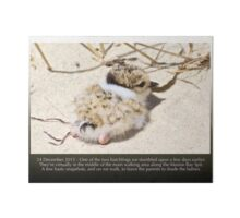 HOODED PLOVER LOG ~ Uber-cute Hooded Plover Chick in the Middle of a Dangerous Thoroughfare Art Board