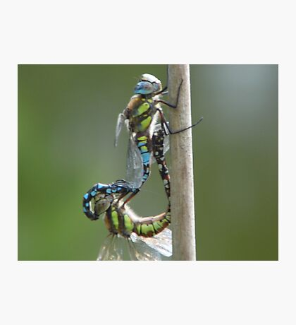 mating hawkers Photographic Print