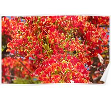 Poinciana blossoms and buds  Poster