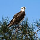 Osprey 1 by mncphotography