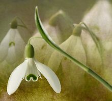 Sweet Snowdrops by Morag Bates
