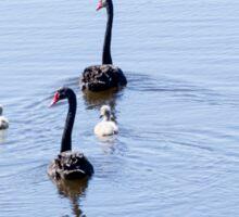 Black Swans and Chicks Sticker