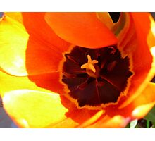 Tulip Macro Photographic Print