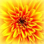 Yellow Dahlia by ©The Creative  Minds