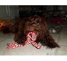 Cockapoo with her toys Photographic Print