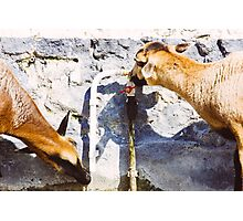 Drinking Goats Photographic Print