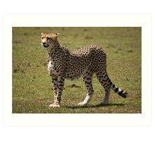 Beautiful Cheetah Art Print