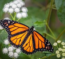 Monarch by PhotosByHealy