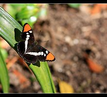 Little Butterfly by Stephanie Palmer