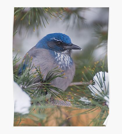Western Scrub-Jay with snow on its beak Poster