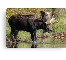 Splashing Moose Canvas Print