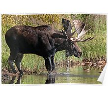Splashing Moose Poster
