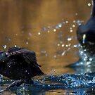 Two Coot by ThisMoment