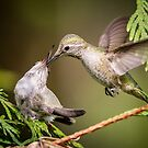 Food on the Wing -- Anna's Hummingbird Female and Fledgling by Tom Talbott
