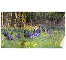 A Rafter Of Wild Turkeys    Poster