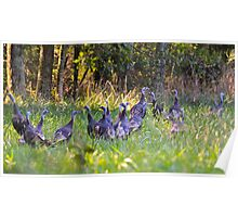 A Rafter Of Wild Turkeys    Poster