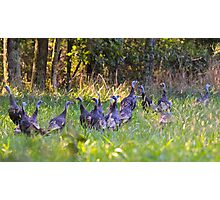 A Rafter Of Wild Turkeys    Photographic Print