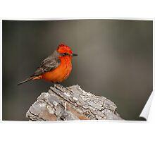Unmistakable -- Vermillion Flycatcher Poster