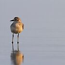 Upon Reflection -- Black-bellied Plover by Tom Talbott