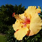 Hibiscus on a nice winters day by PhotosByG