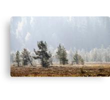 18.9.2014: Pine Trees, Autumn Morning Canvas Print
