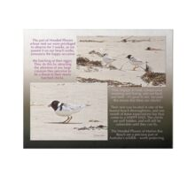 HOODED PLOVER LOG ~ Tweeting the Arrival of Chicks Art Board
