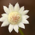 Actinotus minor .. The Lesser Flannel Flower   by Michael Matthews