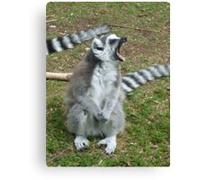 The anger of the Ring-Tailed Lemur - Monkey World, Dorset  Canvas Print