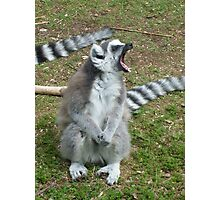 The anger of the Ring-Tailed Lemur - Monkey World, Dorset  Photographic Print