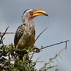 Southern Yellow-billed Hornbill by Karine Radcliffe