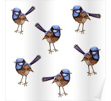 Blue Wrens, Russet and White Poster