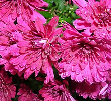Chrysanthemums on a Damp Autumn Morning by lezvee